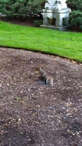 Apple Squirrel